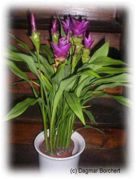 curcuma pflanze pflege mein kleiner schoener garten curcuma safranwurz