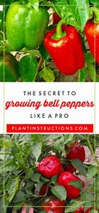 5 Tips For Growing Bell Peppers  A Guide To Growing Big