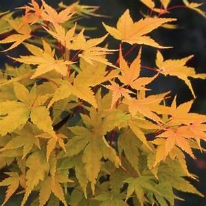 Plante Pour Jardin Japonais : erable du japon 39 senkaki 39 plantes et jardins ~ Dode.kayakingforconservation.com Idées de Décoration