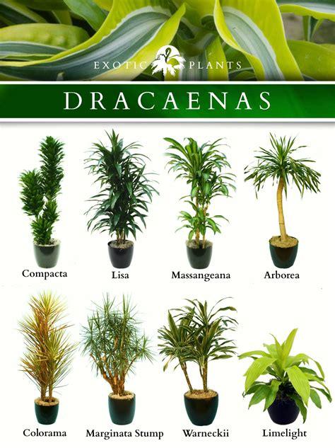 latin  dracaenas common  bamboo plant corn