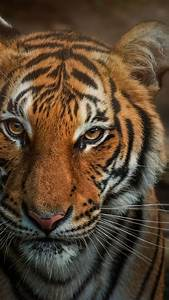 bengal tiger 4k wallpaper closeup big cat animals