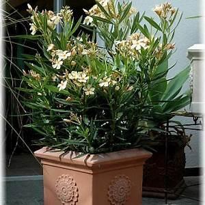 Pflege Von Oleander : oleander interessant garten mediterraner garten und pflanzen ~ Eleganceandgraceweddings.com Haus und Dekorationen