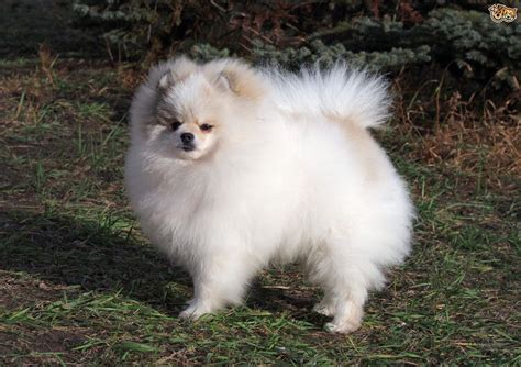 pomeranian dog breed information buying advice