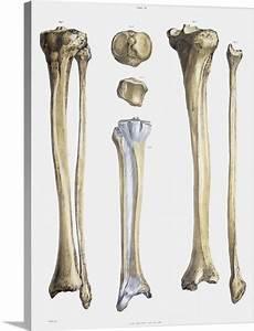 Lower Leg Bones And Ligaments Photo Canvas Print