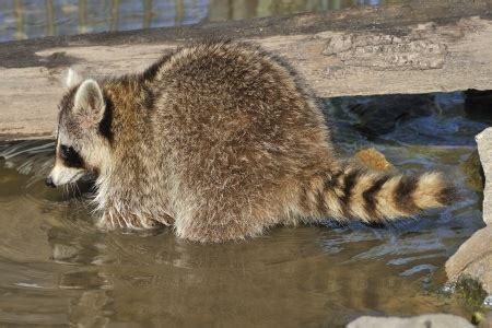 How To Catch A Raccoon In My Backyard by Raccoon Trapping Fur Harvesting And Nuisance