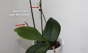 Avocado Pflanze Richtig Schneiden : orchideen bl ten abschneiden gr ser im k bel berwintern ~ Lizthompson.info Haus und Dekorationen