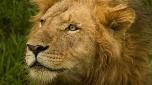 Wild, Lion, Close, Face