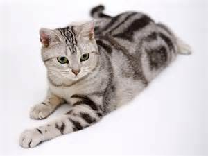 friendliest cat breeds 10 friendly cat breeds for houses list visit imgstocks