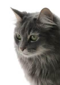 turkish angora cats 10 interesting facts about turkish angora cats many