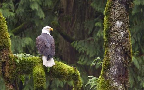 bald eagle haliaeetus leucocephalus perched on a branch