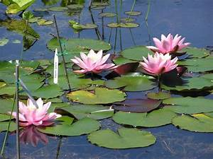 Are Water Lilies Difficult To Grow