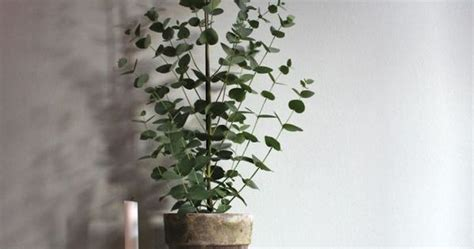 growing eucalyptus indoors can eucalyptus be grown indoors potted eucalyptus trees for the home cactus search and to grow