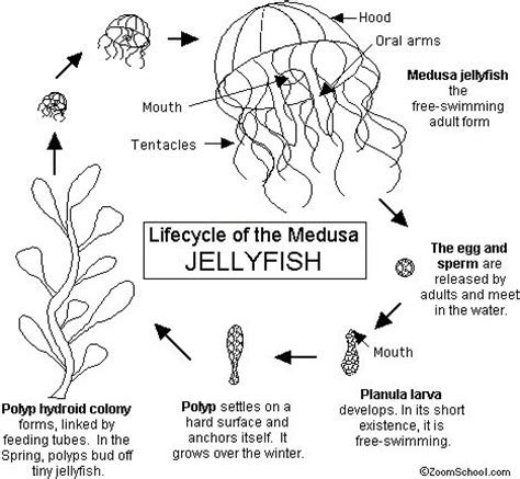 lifecycle of a jellyfish the life cycle is complete when