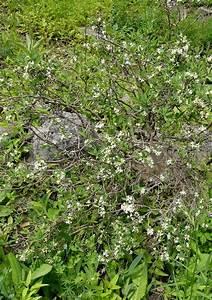 Frühblühende Sträucher Frühjahr : seidelbastgewaechse ~ Michelbontemps.com Haus und Dekorationen