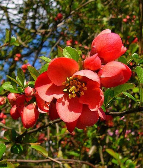 strauch mit roten blüten mit dornen