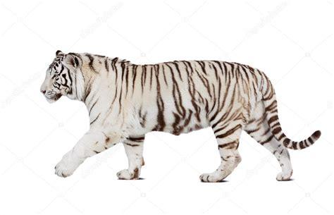 Balram halwal, también conocido como sirviente tigre blanco, filósofo, empresario, asesino. Libros Tigre Blanco Gratis : Tigre Blanco