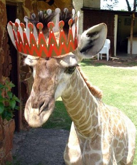 funny cool pictures pet giraffe  south africa