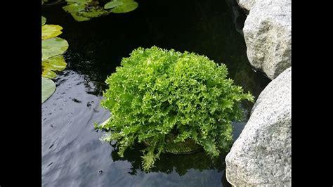 algen im teich vernichten algen im teich algen fadenalgen vernichten bio salat aquaponik
