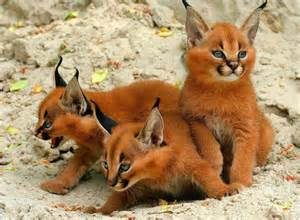 caracal cats quot caracal kittens quot things i like