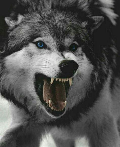 pin de lone wolf em angry wolf  imagens animais