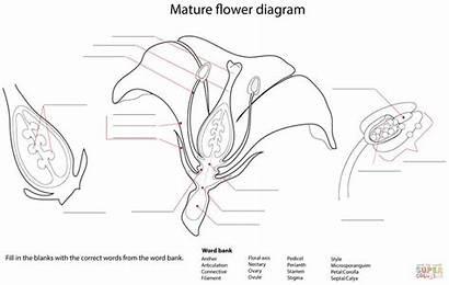 Flower Diagram Worksheet Coloring Pages Printable Worksheets