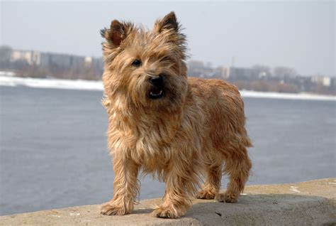 small dog breeds list  top small dogs