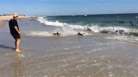bigger beach sharks  ashore