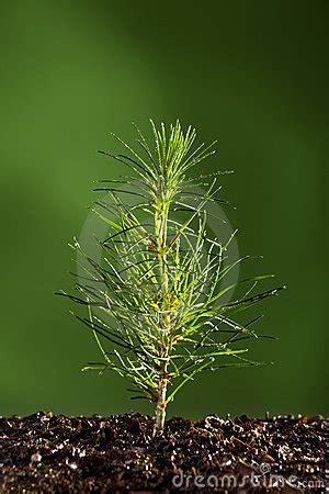 small pine tree plant stock images image