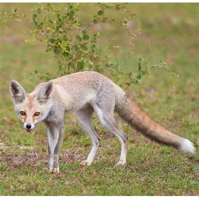 White-footed fox - Wikipedia
