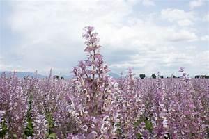 La Sauge Plante : l imposante sauge sclar e jardins de france ~ Melissatoandfro.com Idées de Décoration