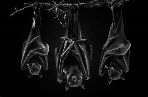 7 revealing animal portraits, from bats to bongos | World ...