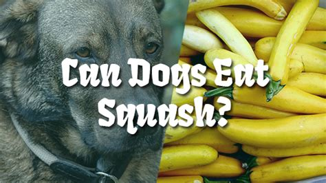 can dogs eat squash can dogs eat squash pet consider