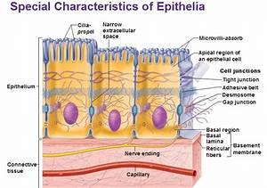 Basics Of Epithelial Tissue