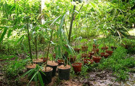 where to grow bamboo how to grow bamboo cuttings guadua bamboo