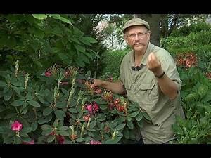Comment Tailler Les Rosiers : comment et pourquoi tailler les rhododendrons youtube ~ Nature-et-papiers.com Idées de Décoration