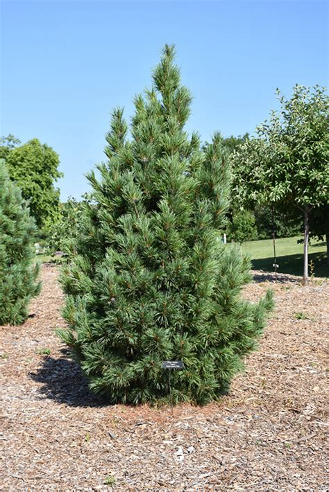 chalet swiss stone pine pinus cembra chalet  inver