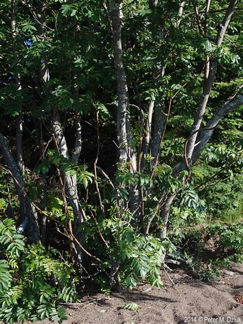 sorbus decora showy mountain ash minnesota wildflowers