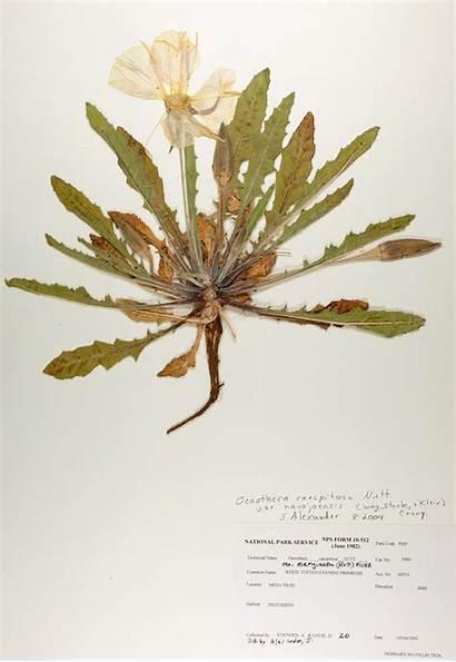 Herbarium Sheet Evening Primrose Tufted Variety Britannica