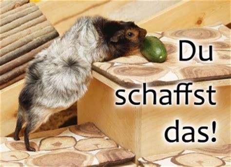 meerschweinchen postkarte du schaffst das