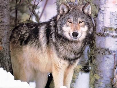 Wolf Desktop Wolves Screensavers Computer Wallpapers Sealife