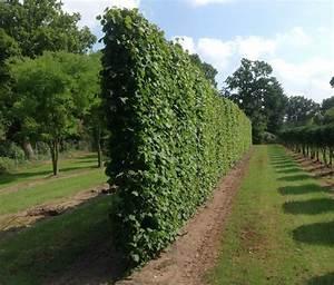 Immergrüne Pflanzen Sichtschutz : sichtschutzpflanzen ~ Michelbontemps.com Haus und Dekorationen