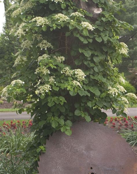 The Plant Hunter Plant A Hydrangea On Your Tree