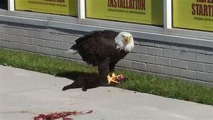 Bald eagle spotted eating black cat on downtown Norfolk ...