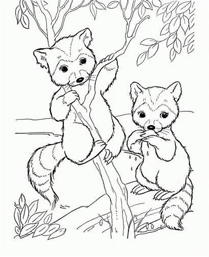 Raccoon Drawing Coloring Pages Printable Animal Cartoon