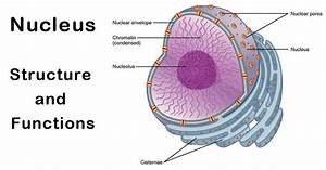 Nucleus  The Heart  U0026 Brain Of A Cell