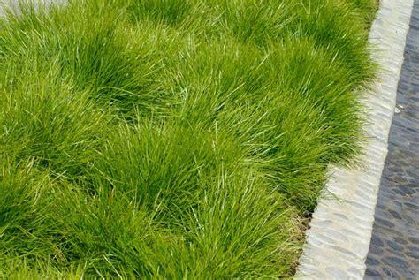 lomandra     plants garden supplies