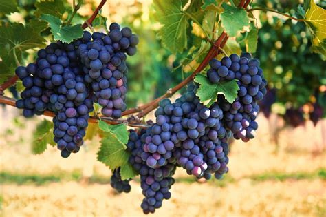 picture of grapes on a vine grapes on vine united fresh