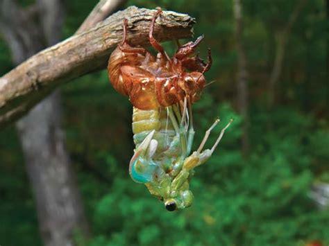 cicada shedding its exoskeleton cicada cicada shedding its exoskeleton