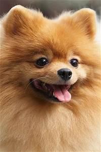 Cute=Pomeranians cathannk | Pomeranian | Pinterest