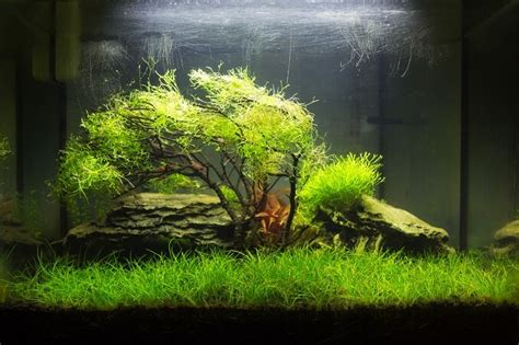 moos für aquarium java moss the complete guide care growing and more fishkeeping world